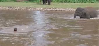 Elefante entra no rio para salvar seu treinador: assista!