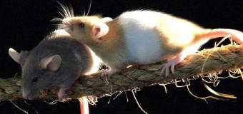Ratos paraplégicos voltam a andar com células-tronco